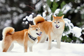 Akita Inu Dogs in Snow Wallpaper for Android, iPhone and iPad
