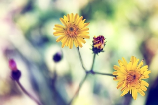 Yellow Daisy - Fondos de pantalla gratis Stub device