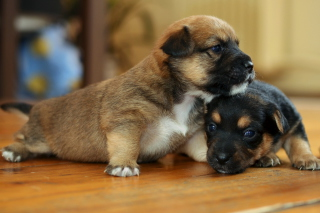 Two Cute Puppies Picture for Android, iPhone and iPad