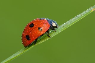 Ladybug Background for Android, iPhone and iPad