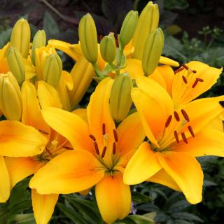 Yellow Lilies - Obrázkek zdarma pro 320x320