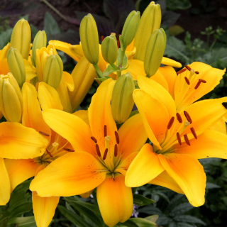 Yellow Lilies - Obrázkek zdarma pro iPad mini 2