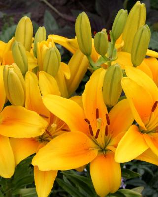 Yellow Lilies - Obrázkek zdarma pro 480x640