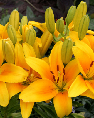 Yellow Lilies - Obrázkek zdarma pro Nokia X1-00