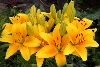 Yellow Lilies - Obrázkek zdarma pro 1152x864