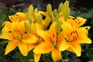 Yellow Lilies - Obrázkek zdarma pro Samsung Galaxy S3