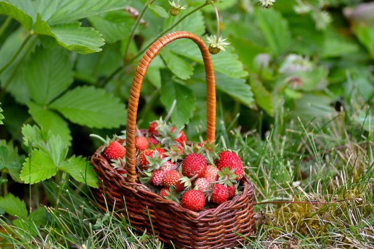 Virginia Strawberry Basket wallpaper
