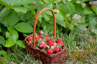 Virginia Strawberry Basket - Obrázkek zdarma pro LG P500 Optimus One
