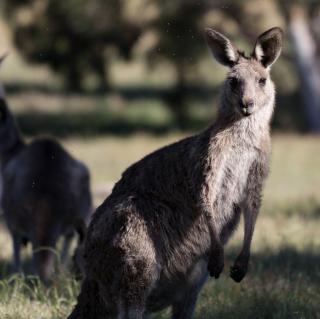 Kangaroo - Obrázkek zdarma pro 320x320