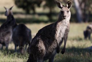 Kangaroo - Obrázkek zdarma pro 176x144