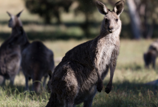 Kangaroo - Obrázkek zdarma pro Samsung Galaxy Note 3