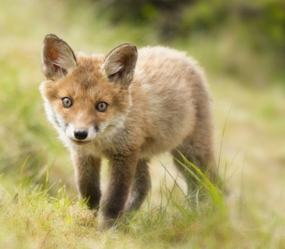 Cute Fox Cub - Obrázkek zdarma pro iPad