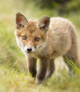 Cute Fox Cub - Obrázkek zdarma pro Nokia C1-01