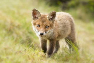 Cute Fox Cub - Obrázkek zdarma pro Fullscreen 1152x864