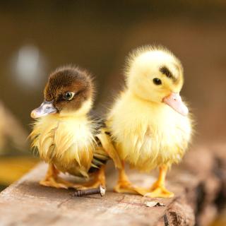Ducklings - Obrázkek zdarma pro iPad 2