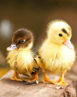 Ducklings - Obrázkek zdarma pro iPhone 5S
