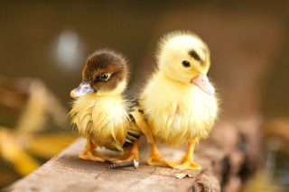 Ducklings - Obrázkek zdarma pro Motorola DROID