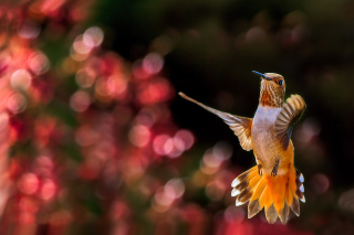 Hummingbird In Flight Background for Android, iPhone and iPad