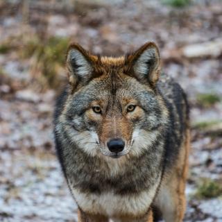 Coyote - Obrázkek zdarma pro 208x208