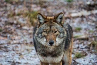 Coyote - Obrázkek zdarma pro HTC Desire