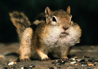 Chipmunk Picture for Android, iPhone and iPad