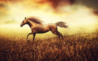 Horse Running In Wheat Field Background for Android, iPhone and iPad