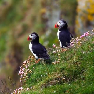 Birds Atlantic Puffins in Iceland - Obrázkek zdarma pro iPad