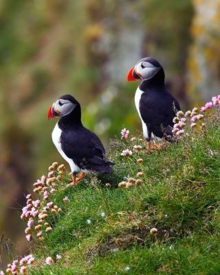 Birds Atlantic Puffins in Iceland - Obrázkek zdarma pro Nokia 5233