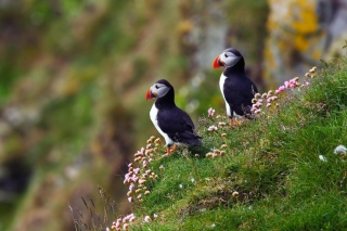 Birds Atlantic Puffins in Iceland - Obrázkek zdarma pro Android 1080x960