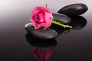 Free Pink rose and pebbles Picture for Android, iPhone and iPad