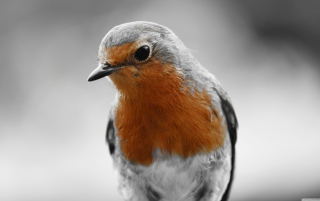 Robin Redbreast Background for Android, iPhone and iPad
