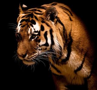 Bengal Tiger HD - Obrázkek zdarma pro 208x208