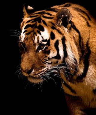 Bengal Tiger HD - Obrázkek zdarma pro Nokia Lumia 520