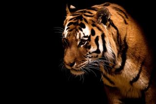 Bengal Tiger HD - Obrázkek zdarma pro Fullscreen Desktop 1600x1200