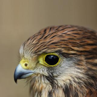 Kestrel Bird - Obrázkek zdarma pro 128x128