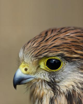 Kestrel Bird - Obrázkek zdarma pro Nokia Asha 308