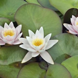 Water Lilies - Obrázkek zdarma pro iPad mini