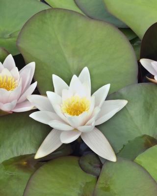 Water Lilies - Obrázkek zdarma pro Nokia C1-02