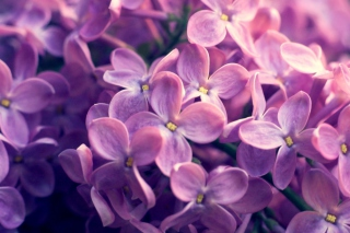 Lilac Flowers Wallpaper for Android, iPhone and iPad
