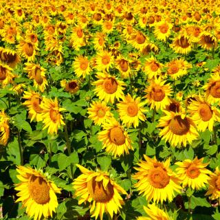 Golden Sunflower Field - Obrázkek zdarma pro 128x128