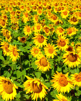 Golden Sunflower Field - Obrázkek zdarma pro 320x480