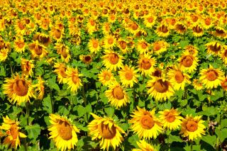 Golden Sunflower Field - Obrázkek zdarma pro Fullscreen Desktop 1600x1200