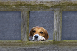 Dog Behind Wooden Fence Picture for Android, iPhone and iPad