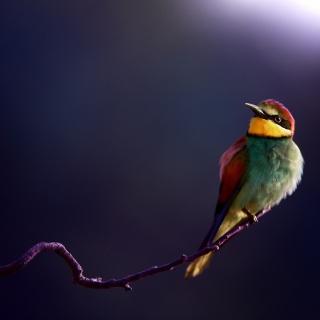 Golden Bee-Eater - Obrázkek zdarma pro 128x128