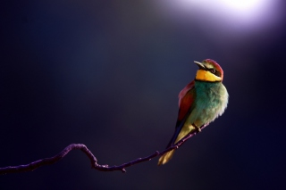 Free Golden Bee-Eater Picture for Android, iPhone and iPad