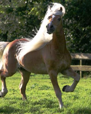 Horse - Obrázkek zdarma pro Nokia Asha 503