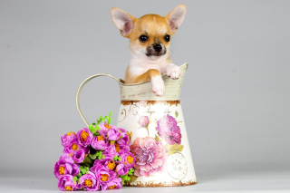Chihuahua - Obrázkek zdarma pro Android 320x480