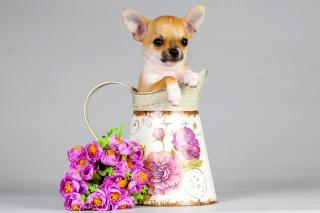 Chihuahua - Obrázkek zdarma pro Samsung Galaxy S5
