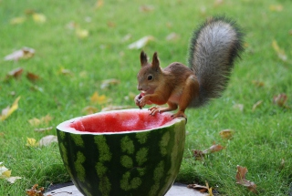 Squirrel Likes Watermelon Background for Android, iPhone and iPad