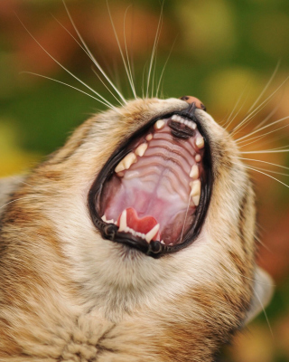 Free Cute Yawning Kitten Picture for Nokia Asha 303